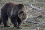 Bear 390