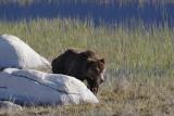 Bear 140