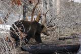 Bear 255