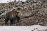 Bear 105