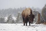 Bison 85