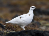 rock ptarmigan (winter plumage)  alpensneeuwhoen  Lagopus mutus