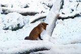 Nice little fox