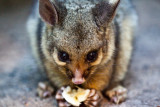 Baby brushtail possum eating a banana