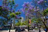 Jacaranda in Sydney