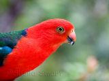 King parrot on our verandah