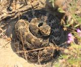 Western Rattlesnake (subspecies Southern Pacific Rattlesnake) Crotalus viridis belleri