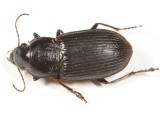 Anisodactylus similis