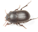 Coniontis sp.