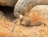 California Ground Squirrel - Spermophilus beecheyi