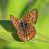 Purplish Copper (Lycaena helloides