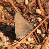 Mountain Mahogany Hairstreak - Satyrium tetra