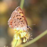 Gorgon Copper - Lycaena gorgon