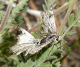 mating Northern White-Skipper - Heliopetes ericetorum