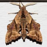 7824 -- Blinded Sphinx -- Paonias excaecata