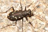 Oregon Tiger Beetle - Cicindela oregona