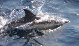Short-beaked Common Dolphin - Delphinus delphis