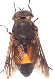 Hybomitra cincta