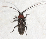 Whitespotted Sawyer - Monochamus scutellatus