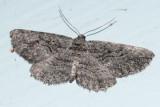 6590 - Common Gray Moth - Anavitrinella pampinaria