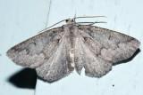 7006 - Mountain Girdle Moth - Enypia griseata