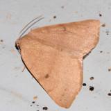 6683 - Drepanulatrix hulstii (pale version)