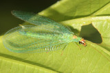 Green Lacewings - Chrysopidae