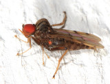 Hybotid Dance Flies - Hybotidae