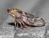 Spruce Spittlebug - Aphrophora parallella