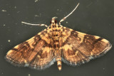 5176 - Yellow-spotted Webworm Moth - Anageshna primordialis