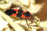 Arizona & California Bugs and Spiders