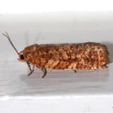 3643 - Jack Pine Budworm - Choristoneura pinus
