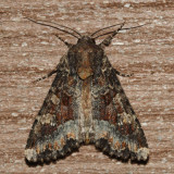 9348 - Yellow-headed Cutworm - Apamea amputatrix