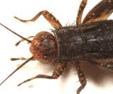 Allonemobius sp.