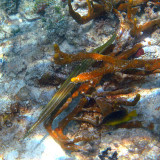 Trumpetfish - Aulostomus maculatus