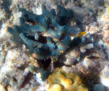 Blue Sponge and Cavernous Star Coral - Montastraea cavernosa