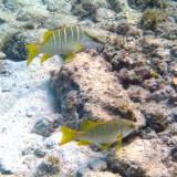 Yellow Snapper - Pargo Amarillo