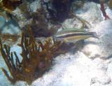 Princess Parrotfish - Scarus taeniopterus