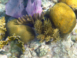 Grooved Brain Coral - Diploria labyrinthiformis, Common Sea Fan - Gorgonia ventalina, Corky Sea Fingers - Briareum asbestinum