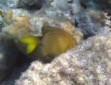 Yellowtail damselfish - Microspathodon chrysurus