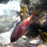 Longspine Squirrelfish - Holocentrus rufus