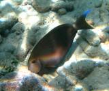 Ocean Surgeon - Acanthurus bahianus