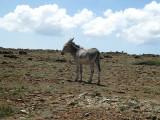 Mule walking around loose on Aruba