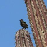 Black-faced Grassquit - Tiaris bicolor