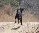 One of the goats running wild in Aruba