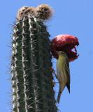 Blackpoll Warbler - Dendroica striata
