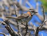 Rufous-collared Sparrow - Zonotrichia capensis