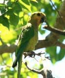Brown-throated Parakeet - Aratinga pertinax