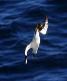 Masked Booby - Sula dactylatra (diving)
