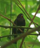 Lesser Antillean Bullfinch - Loxigilla noctis